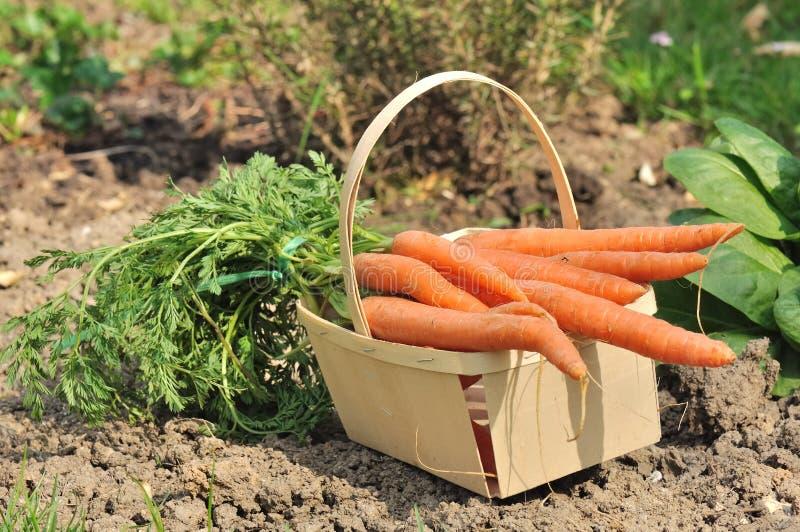моркови пука стоковое фото