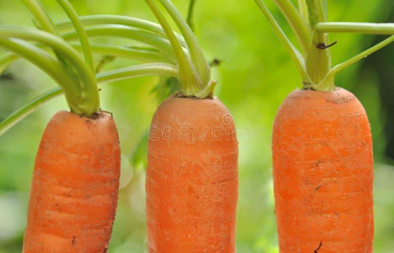 Моркови растя в саде стоковые изображения