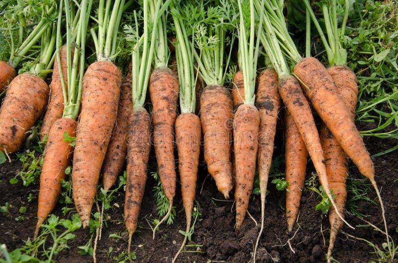 моркови свежие стоковая фотография rf
