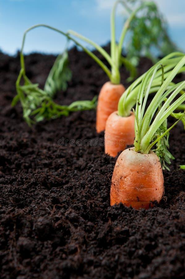 моркови field свежая стоковые фото