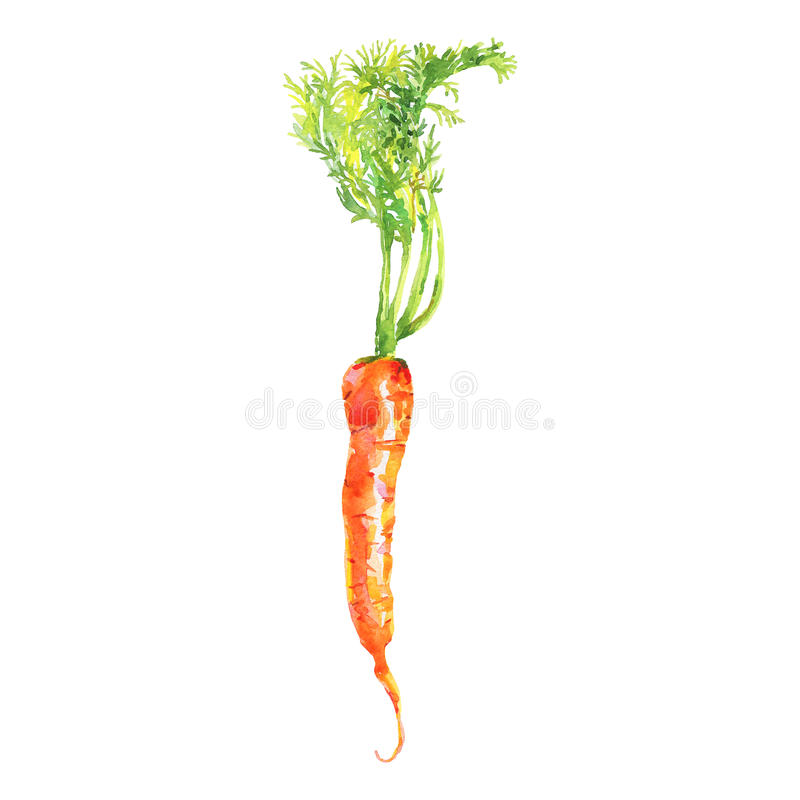 Морковь акварели с верхней частью на белой предпосылке Овощ нарисованный рукой свежий изолированный стоковые фото