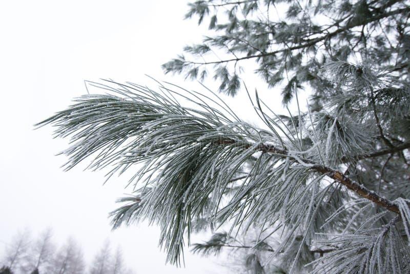 Морозная ветвь сосны на зиме в финском конце-вверх леса стоковые фотографии rf