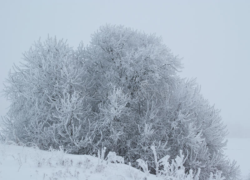 морозная зима shrub стоковые изображения rf