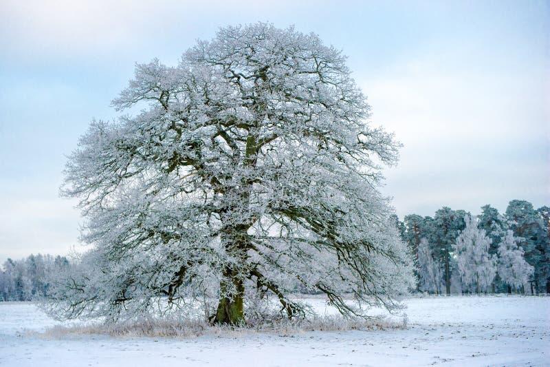 Морозный грандиозный старый дуб стоковые фото