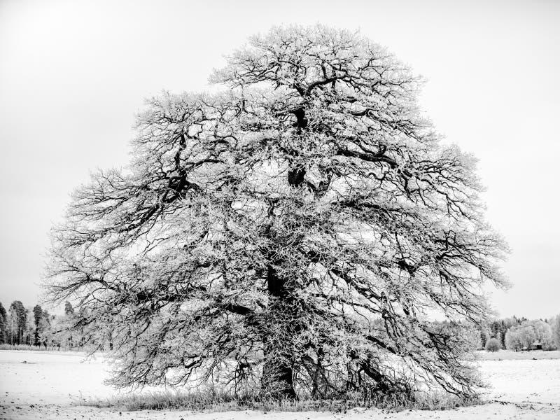 Морозный грандиозный старый дуб B/W стоковые изображения