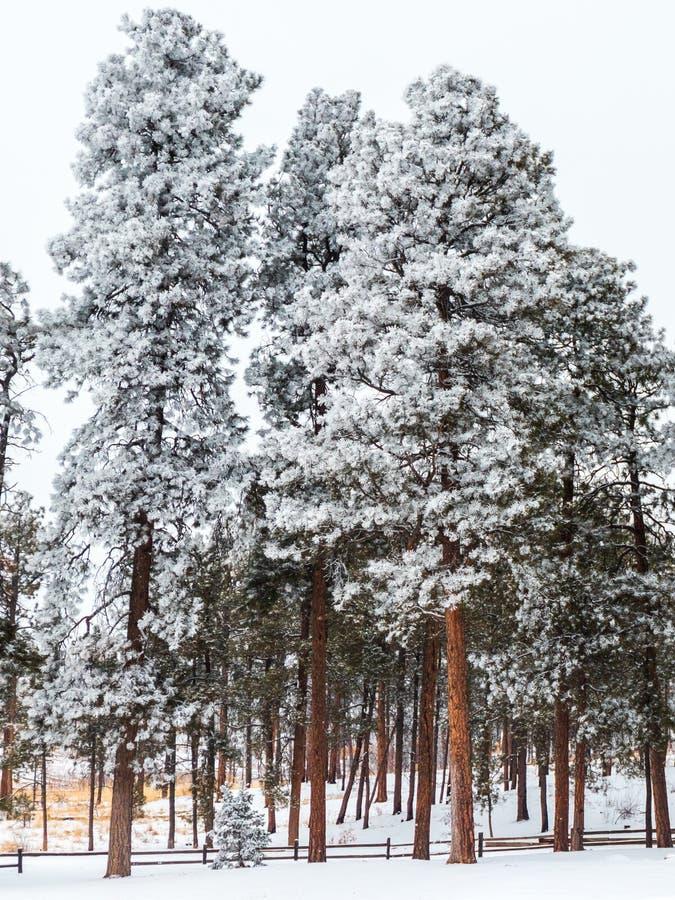Морозный сосновый лес в Колорадо стоковое изображение rf