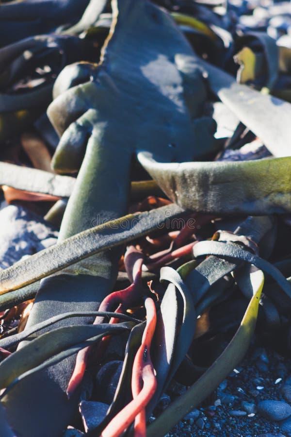 Морская водоросль на прибрежном береге стоковые изображения rf