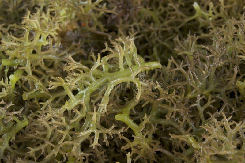 Морская водоросль spinosum Eucheuma вид красных водорослей стоковые фотографии rf
