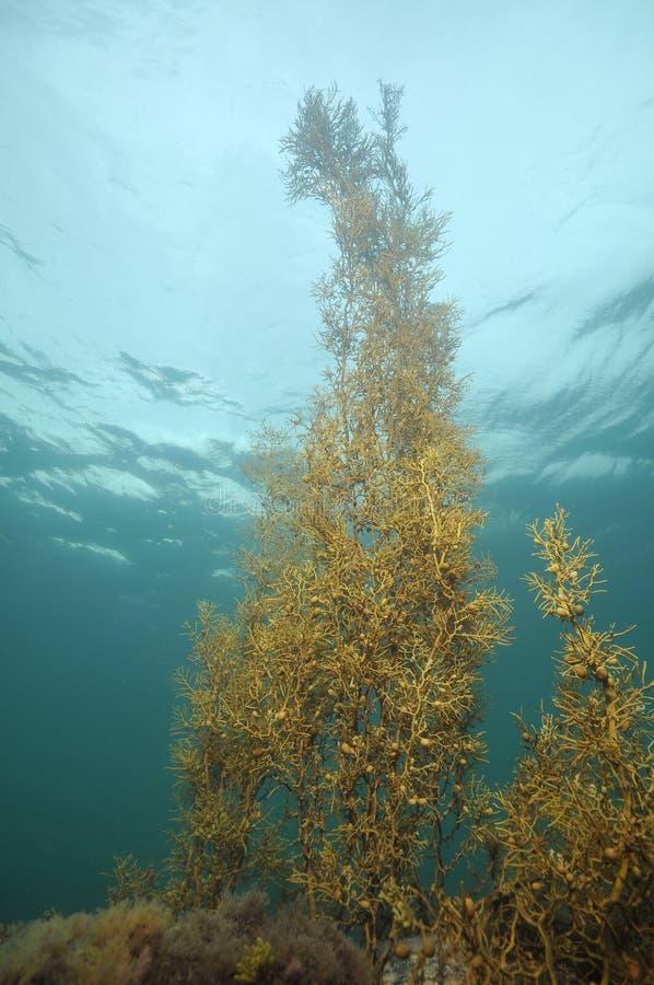 Морская водоросль Брайна стоковая фотография rf