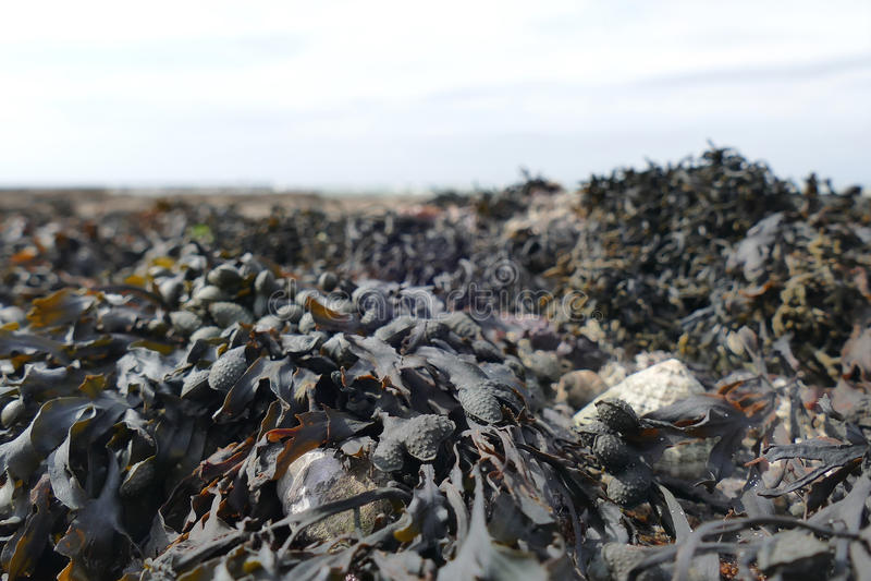 Морская водоросль во время отлива закрывает вверх стоковое фото rf