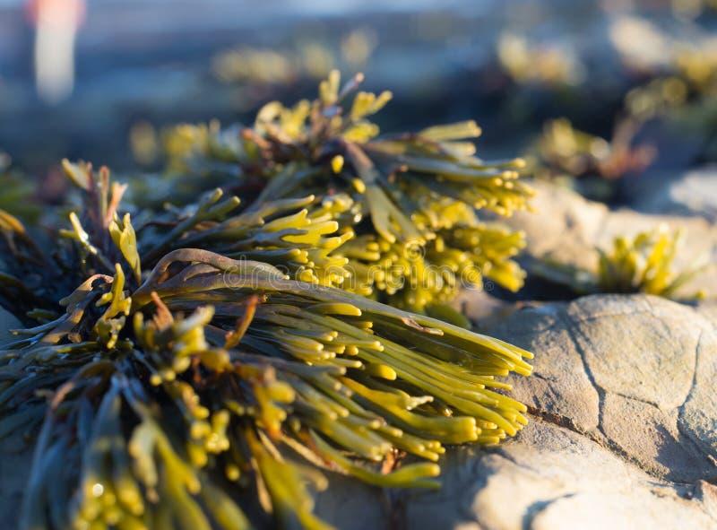 Морская водоросль на утесах стоковая фотография rf