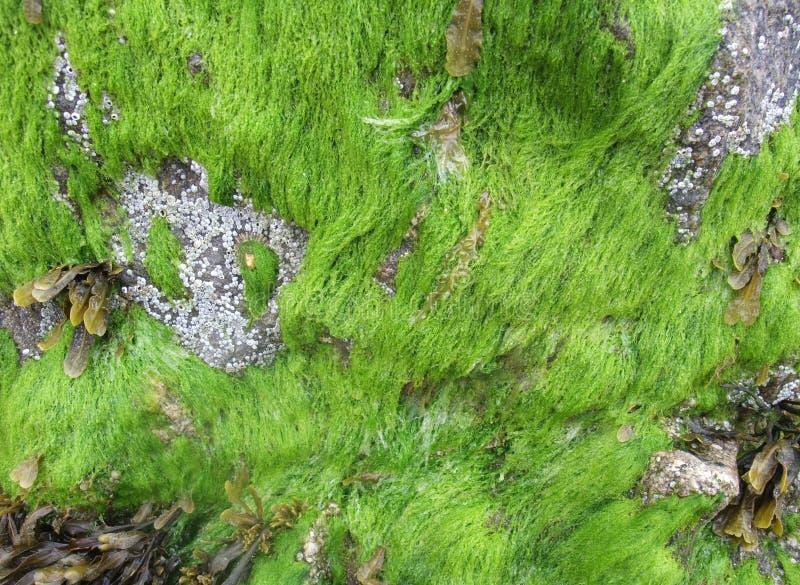 Морская водоросль стоковое фото rf