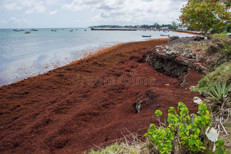 Морская водоросль Sargassum на пляже Барбадос стоковое фото rf