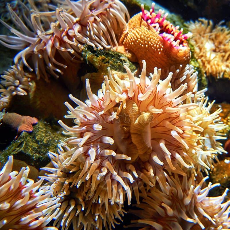 Морская жизнь с полосатым морским анемоном под водой стоковые изображения