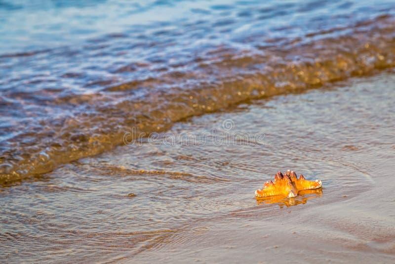 Download Морская звёзда лежит на влажном песке на пляже Стоковое Изображение - изображение насчитывающей курорт, остальные: 81800887