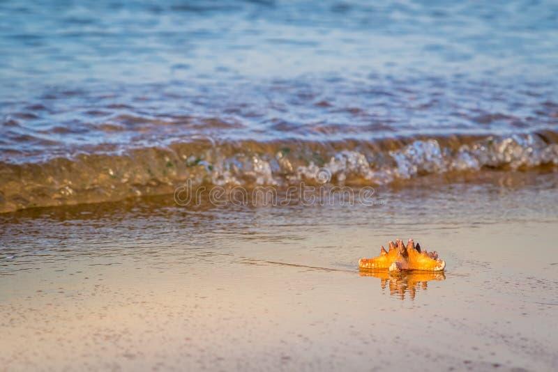 Download Морская звёзда лежит на влажном песке на пляже Стоковое Изображение - изображение насчитывающей померанцово, экзотическо: 81800895