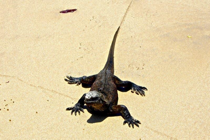 Морская игуана на пляже, островах Галапагос, эквадоре стоковое изображение