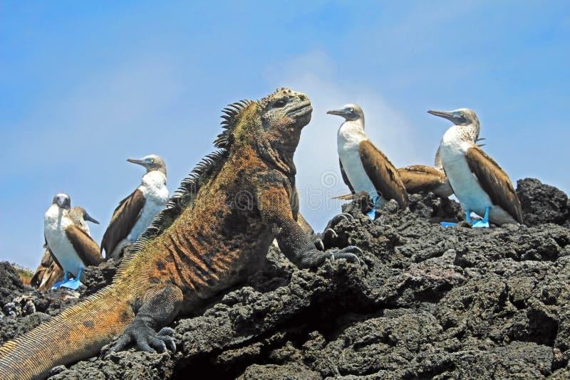 Морская игуана с голубыми footed олухами, олухом, nebouxii Sula и cristatus Amblyrhynchus, на острове Isabela, Галапагос стоковая фотография rf