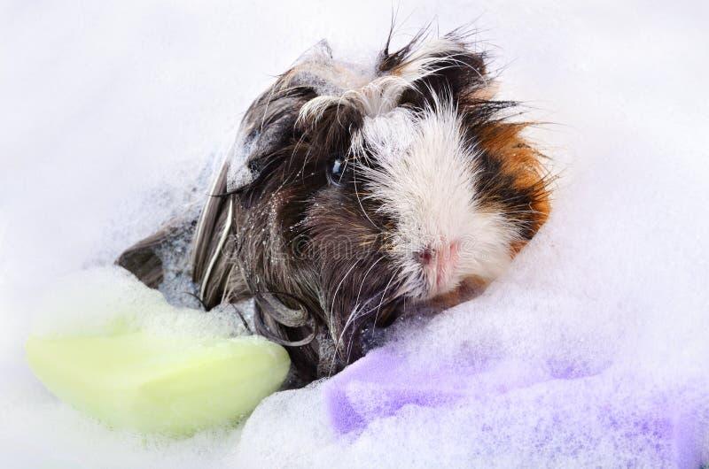 Морская свинка в ванне стоковые фото