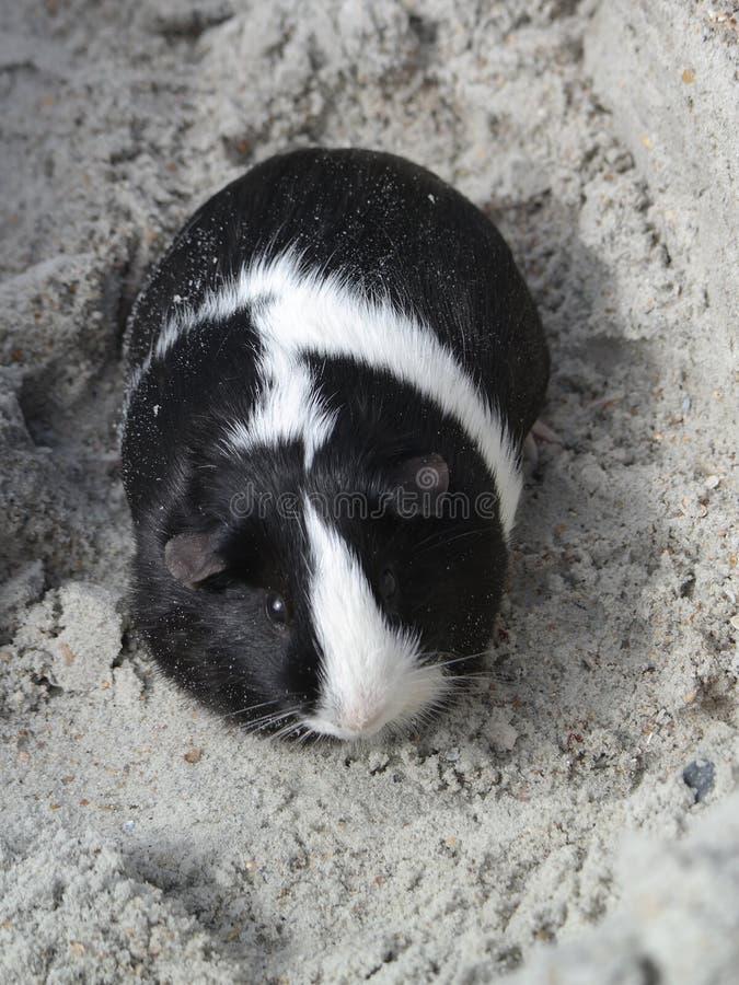 Морская свинка в песке стоковое фото rf