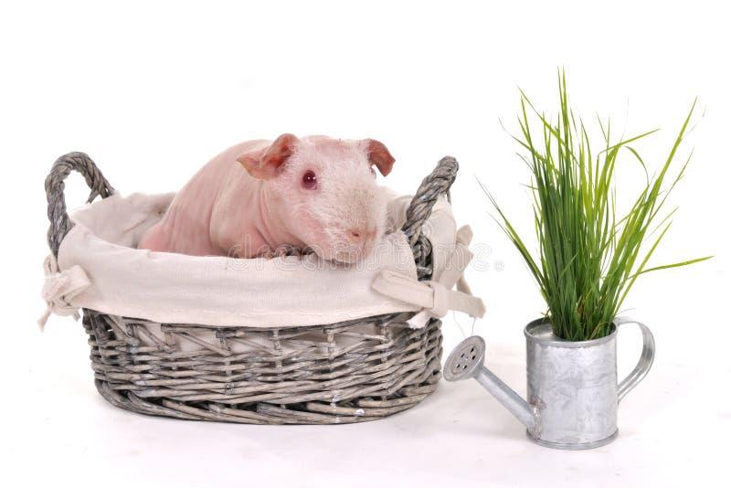 морская свинка корзины стоковая фотография