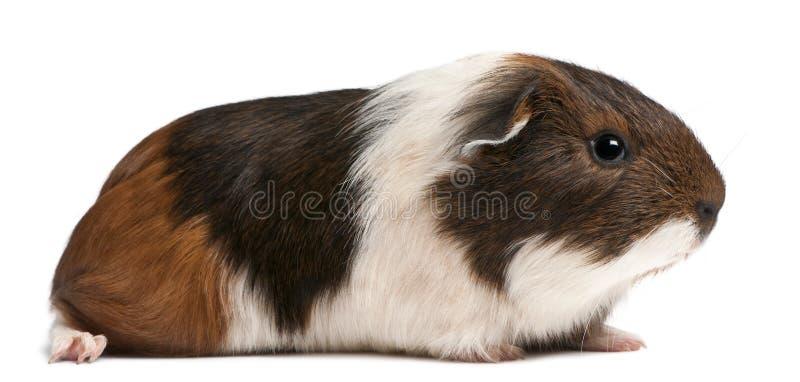 Морская свинка сидя перед белой предпосылкой стоковая фотография