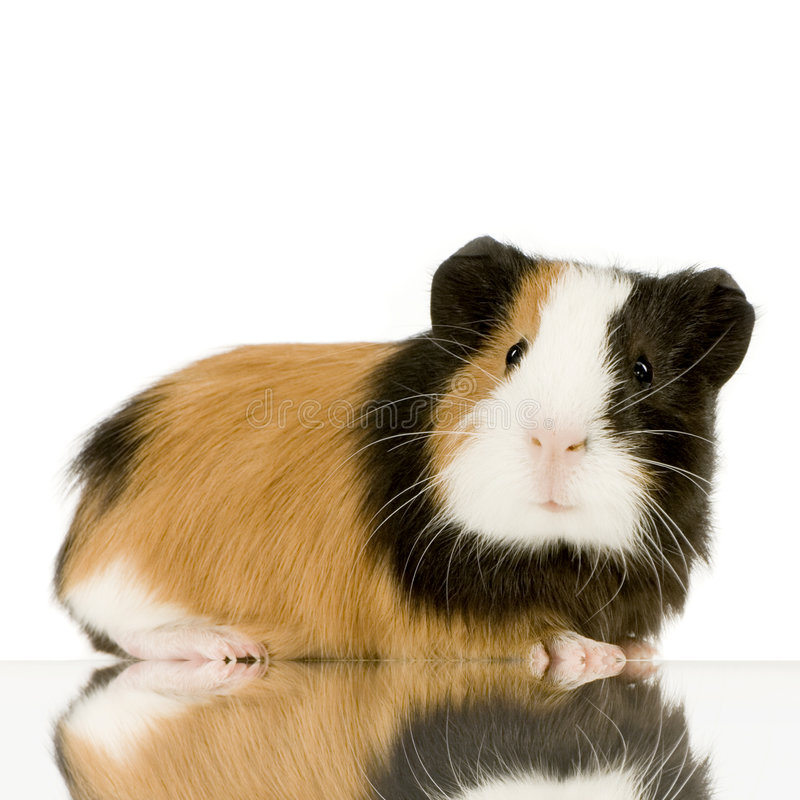 морская свинка стоковое изображение