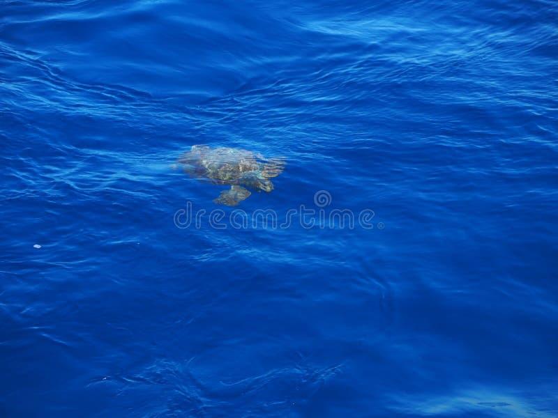 Морская черепаха Азорские островы стоковое изображение rf