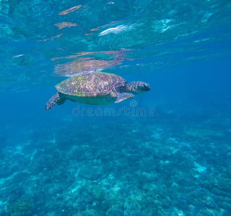 Морская черепаха в открытом море, заплывании зеленой черепахи, редком морском виде стоковые фотографии rf