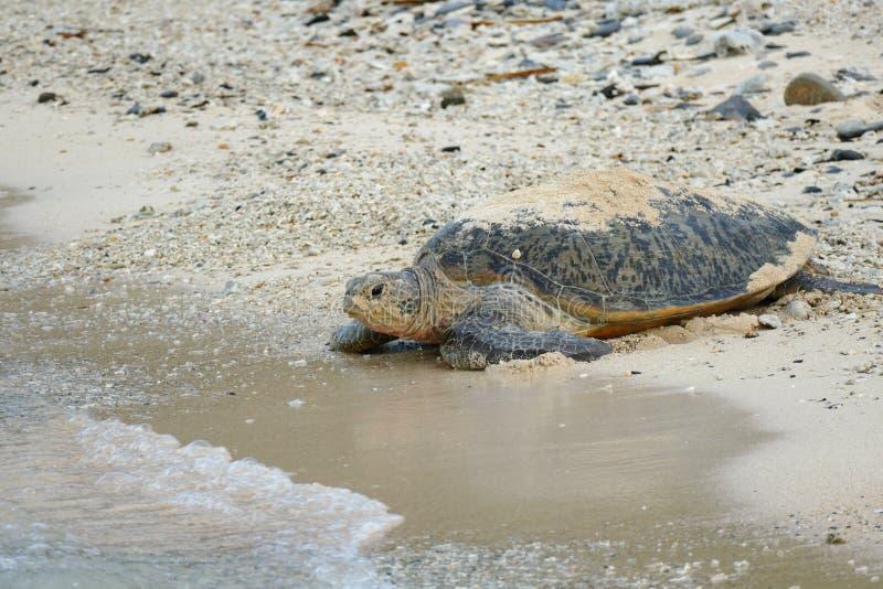 Морская черепаха на береге, причаливая морю, Zamami, Окинава, Япония стоковые изображения rf
