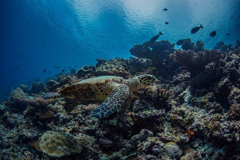 Морская черепаха подводная на предпосылке открытого моря стоковая фотография