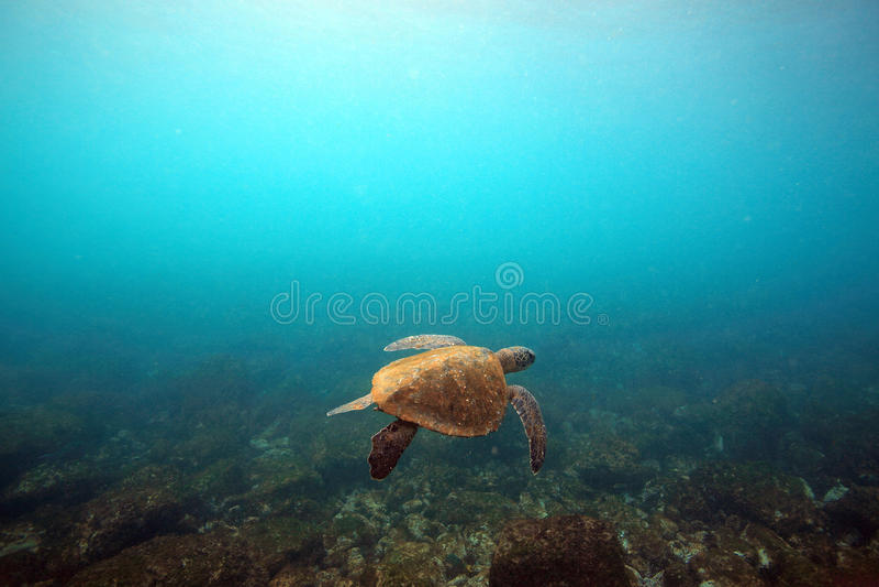 Морская черепаха подводная стоковое фото