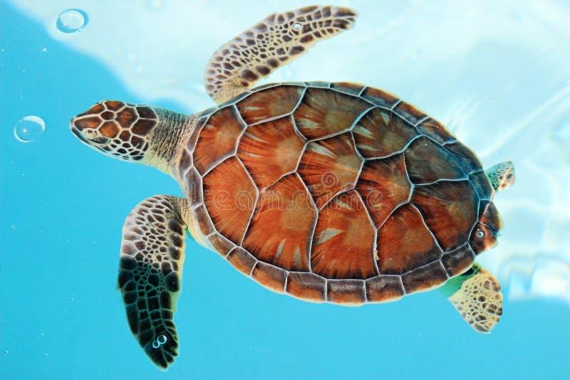 Морская черепаха стоковая фотография