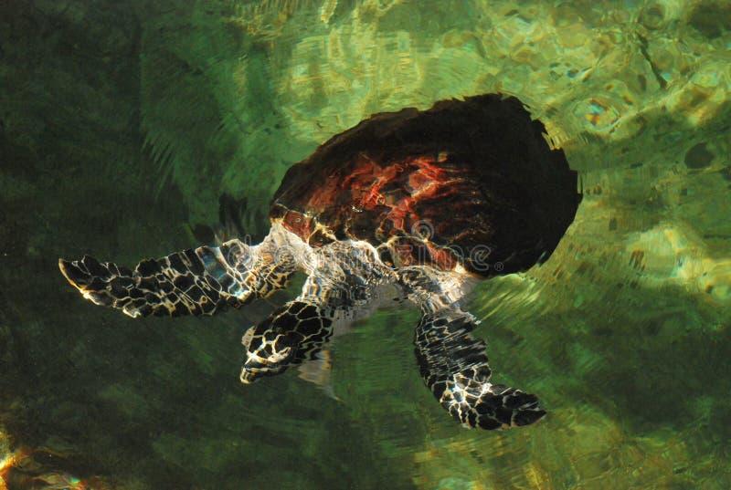 Морская черепаха Carey стоковая фотография