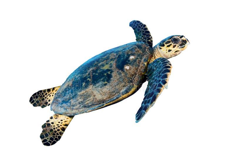 Морская черепаха Hawksbill стоковая фотография