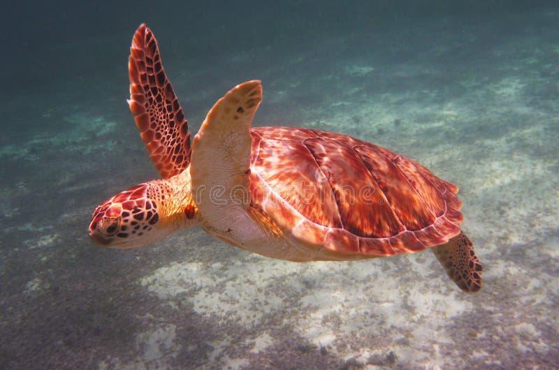 Морская черепаха Hawksbill стоковое фото