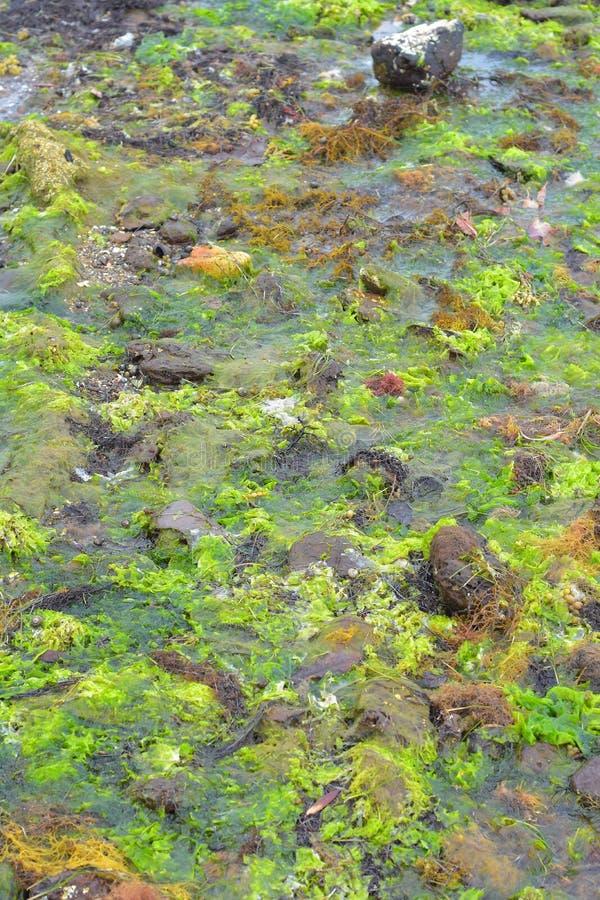 Морские водоросли в бассейне утеса во время отлива стоковое фото rf