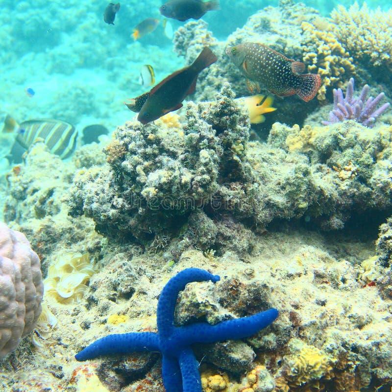 Морские звёзды Фиджи стоковое изображение