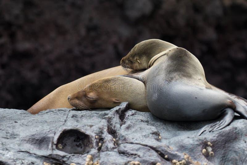 Морские котики на островах Галапагос стоковое фото rf