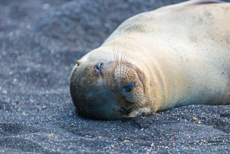 Морские котики на островах Галапагос стоковое изображение rf