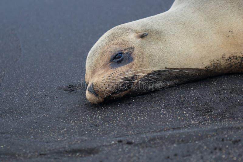 Морские котики на островах Галапагос стоковая фотография rf