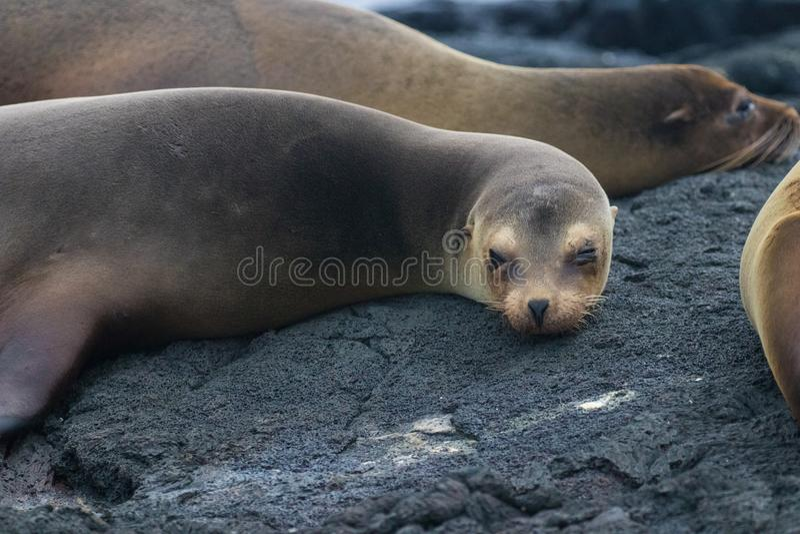 Морские котики на островах Галапагос стоковые фото
