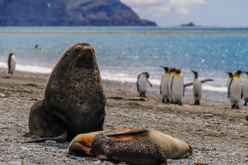 Морские котики на равнинах Солсбери, Южной Георгие стоковая фотография