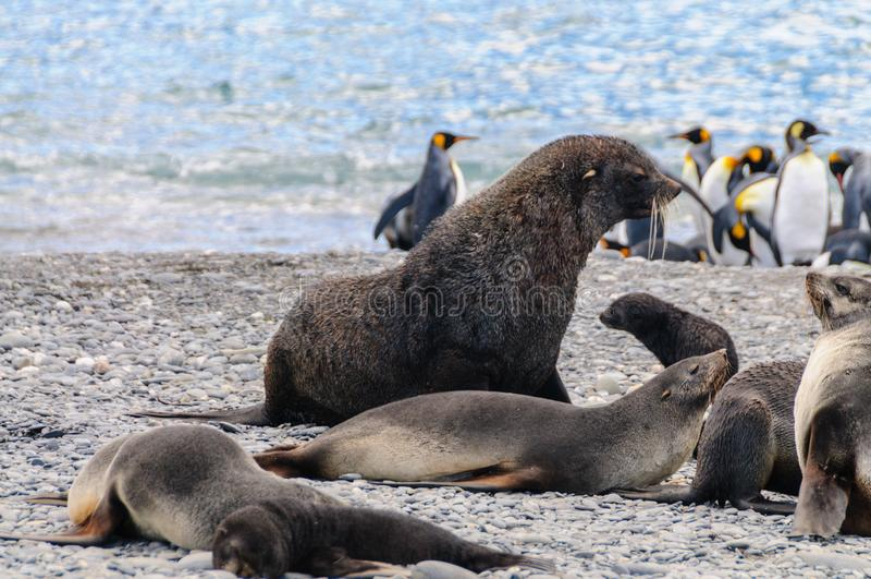 Морские котики на равнинах Солсбери, Южной Георгие стоковая фотография rf