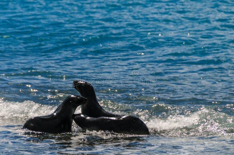 Морские котики на равнинах Солсбери, Южной Георгие стоковое изображение