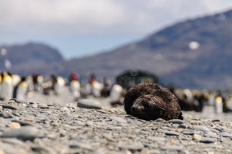 Морские котики на равнинах Солсбери, Южной Георгие стоковые фото