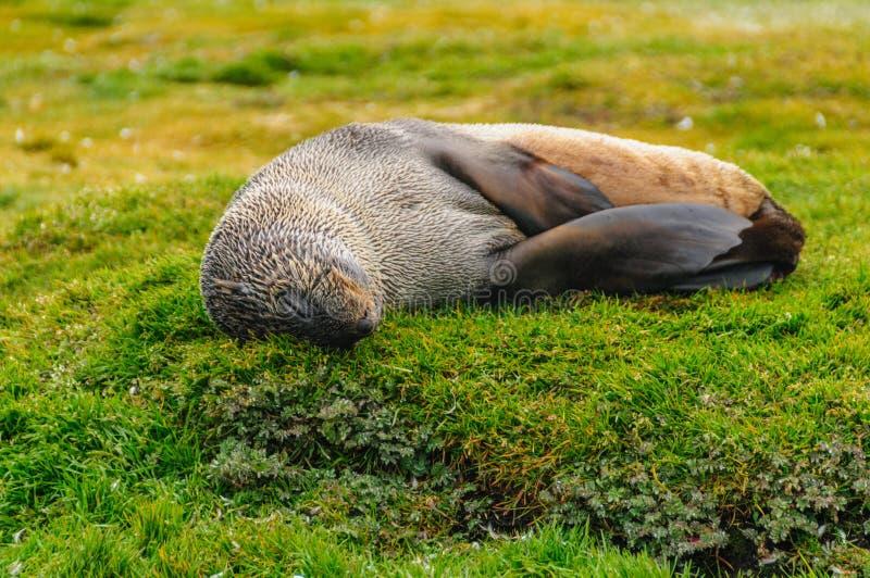 Морские котики на равнинах Солсбери, Южной Георгие стоковое фото rf