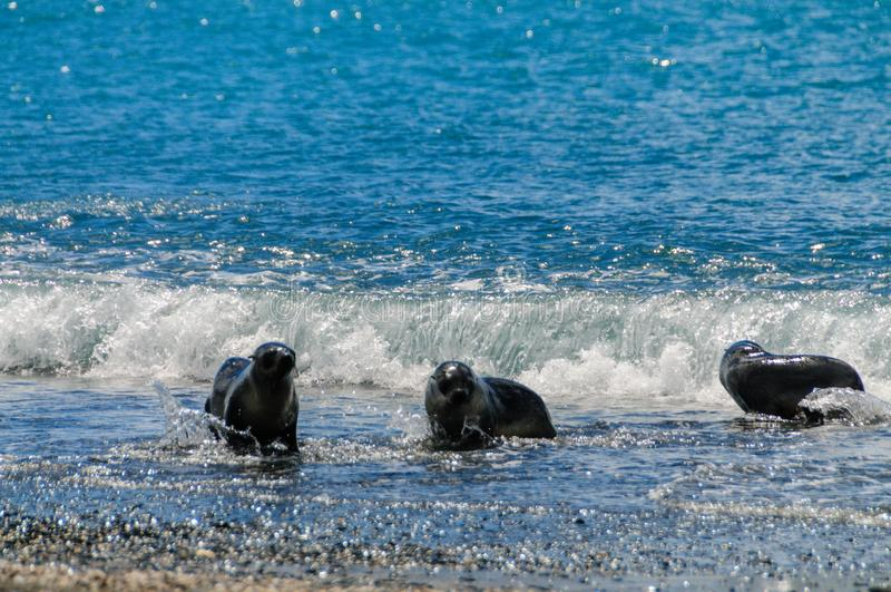 Морские котики на равнинах Солсбери, Южной Георгие стоковые изображения