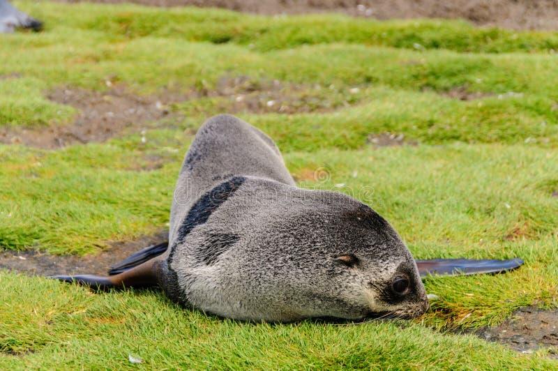 Морские котики на равнинах Солсбери, Южной Георгие стоковое фото