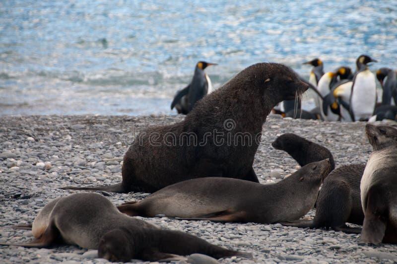 Морские котики на равнинах ` s Солсбери Южной Георгии стоковые фотографии rf